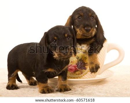 2 Cute Wire haired Dachshund puppies in large cup