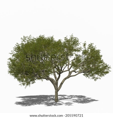 3D computer rendered illustration Rain Tree, Samanea saman summer