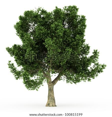 3d Cork Oak tree isolated over white - stock photo