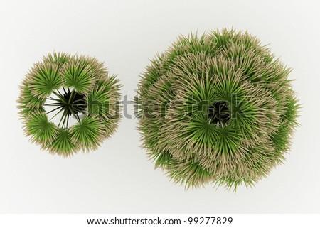 3d  Desert Fan Palm isolated over white - stock photo