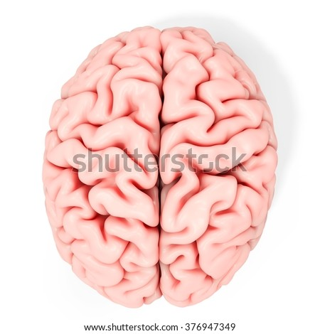 3d detailed brain on white background