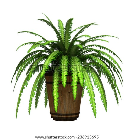 3D digital render of a green boston fern in a flower pot isolated on white background - stock photo