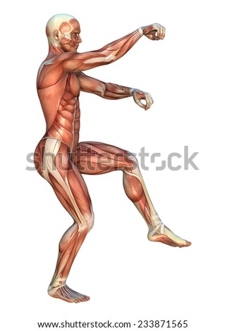 3D digital render of a human figure with muscle maps in a praying mantis martial arts position isolated on white background