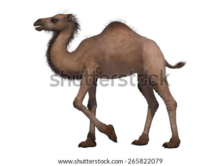 3D digital render of a walking camel isolated on white background - stock photo