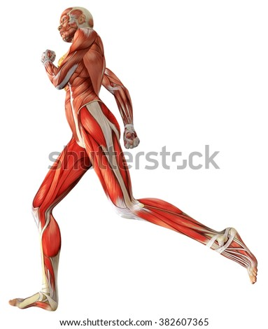 3D female medical figure showing active muscles when running
