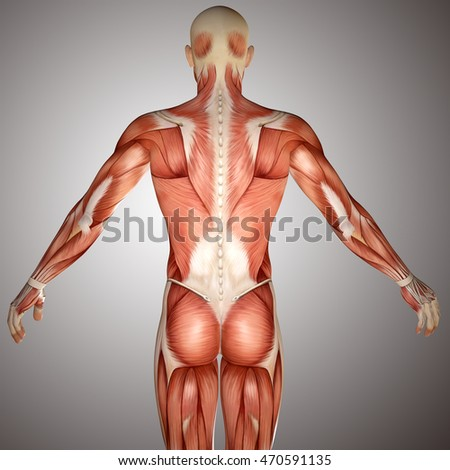 3d human anatomy torso back muscles