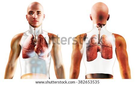 3d Human Respiratory System  - stock photo