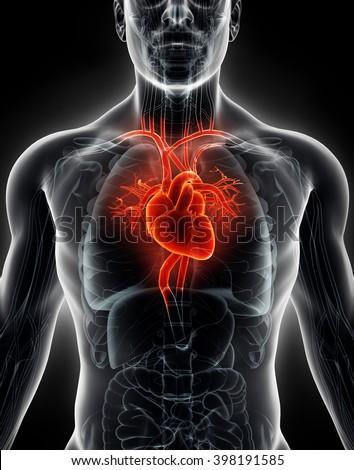 3D illustration Human Internal Organic - Human Heart, medical concept. - stock photo