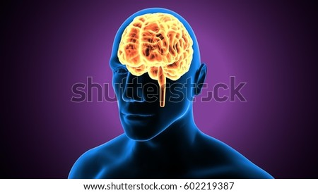 3 D Illustration Human Brain Anatomy Stock Illustration 602219387
