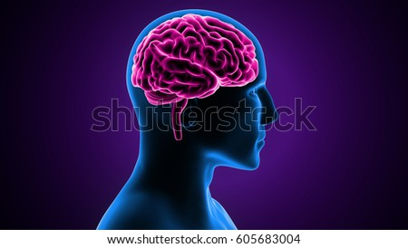3d illustration of human brain anatomy