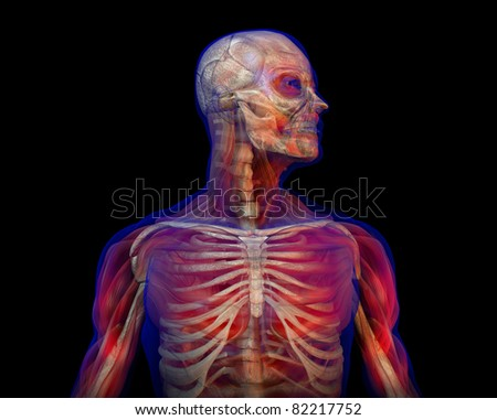 3D illustration of human male anatomy and skeleton. Standing pose. Torso with head. - stock photo