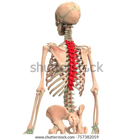 Spinal anatomy pictures