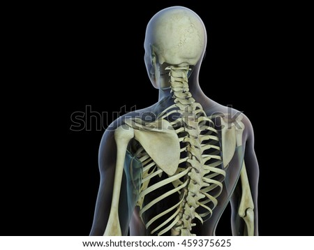 3D Illustration of Skeleton, back view