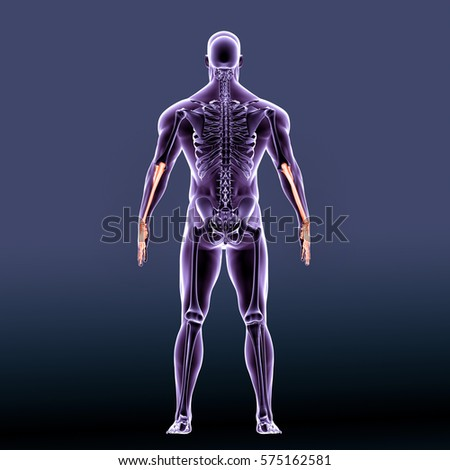 ulna stock images, royalty-free images & vectors | shutterstock, Skeleton