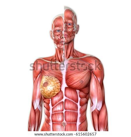 3 D Male Female Torso Anatomy Together Stock Illustration 615602657