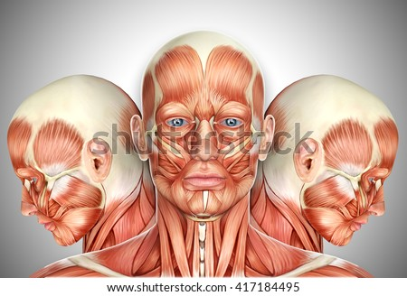 facial muscles anatomy stock images, royalty-free images & vectors, Cephalic Vein