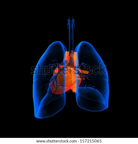3D medical illustration - lungs with visible heart - back view - stock photo