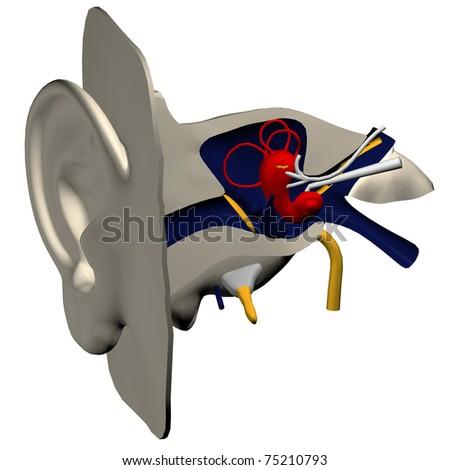 3d model of inner ear - stock photo