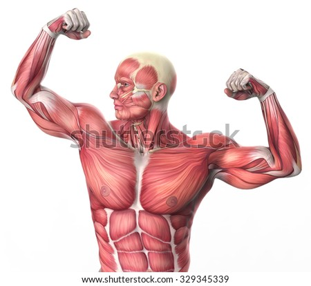 3d muscular anatomy - bodybuilder isolated on white background - stock photo