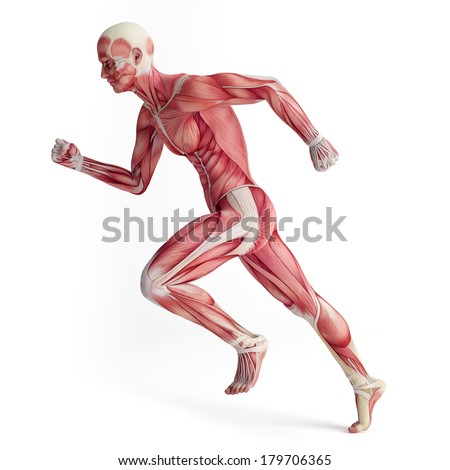 3d muscular system of running man - stock photo