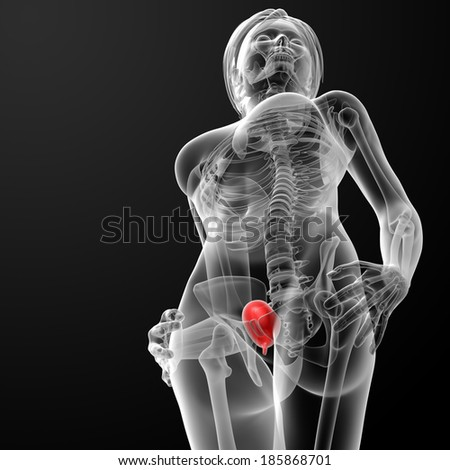 3d render female bladder anatomy x-ray - top view