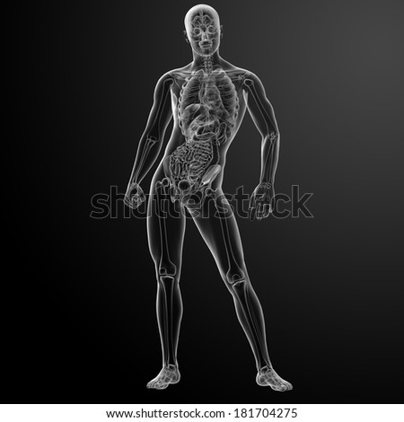 3d render human anatomy - front view - stock photo