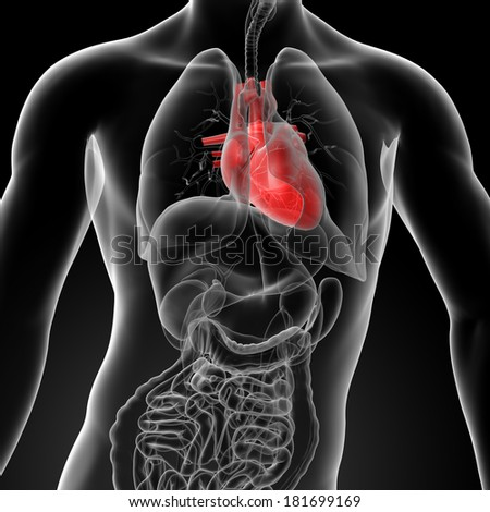 3d render human heart anatomy - front view