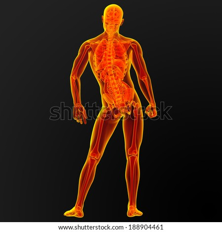 3d render illustration of the male anatomy - back view
