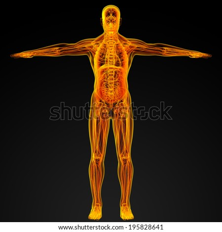 3d render illustration of the male muscle - front view - stock photo