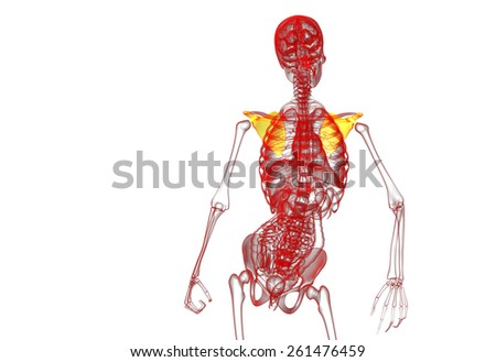 3d render medical illustration of the scapula bone - front view