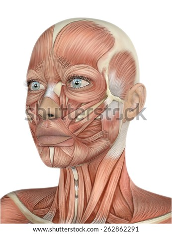 3D render of a female face with detailed muscle map - stock photo