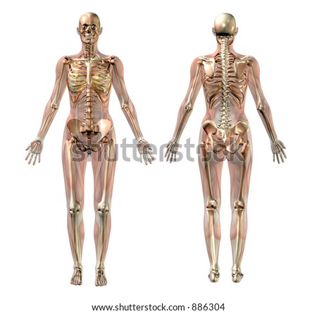 3D render of a female skeleton with semi-transparent muscles. - stock photo
