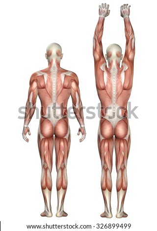 3D render of a medical figure showing scapula upward and downward rotation