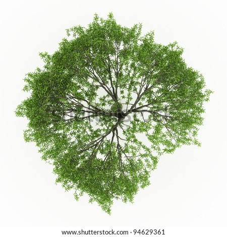 3d render Weeping willow isolated over white - stock photo