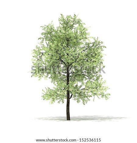 3D rendered illustration of Eiche Tree model