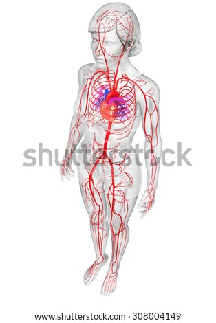 3d rendered illustration of female arterial system