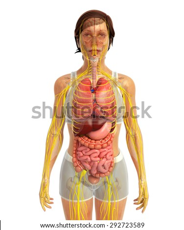 3d rendered illustration of female digestive and nervous system