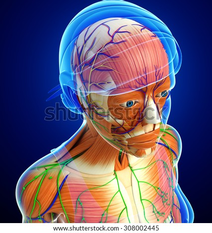 3d rendered illustration of female head anatomy