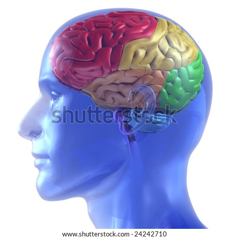 3D rendered illustration of human head with brain colored by section