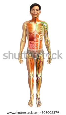 3d rendered illustration of male muscular and digestive system - stock photo