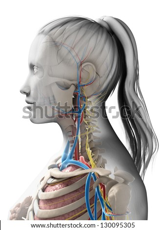 3d rendered illustration of the female anatomy - stock photo