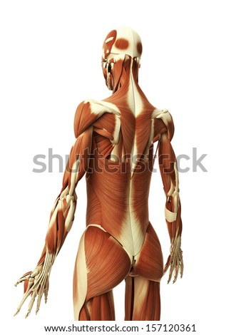 3d rendered illustration of the female muscles - stock photo
