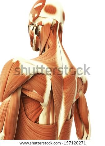 3 D Rendered Illustration Female Neck Muscles Stock Illustration