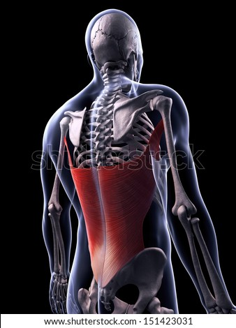 3d rendered illustration of the latissimus dorsi muscle