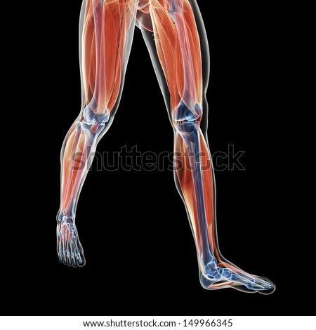 3d rendered illustration of the leg muscles - stock photo