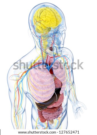 3d rendered illustration of the male anatomy - stock photo