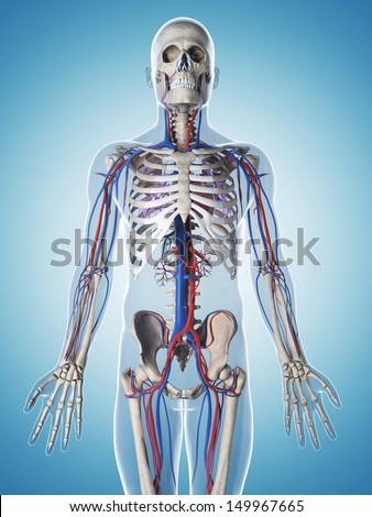 3d rendered illustration of the male skeleton and vascular system - stock photo