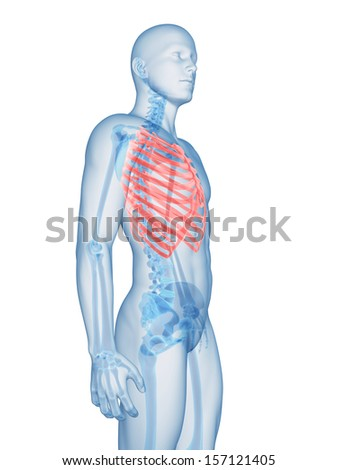 3d rendered illustration of the rib cage