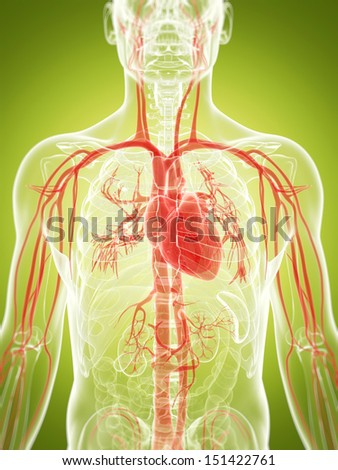 3d rendered illustration of the vascular system - stock photo