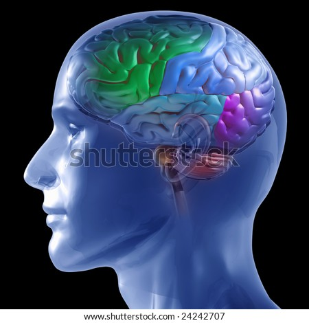 3D rendered illustration of transparent human head with brain colored by section - stock photo